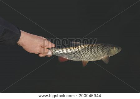 Small Fish In Hand. Releasing Chub In Water