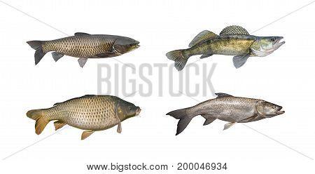 Carp, Sander, Amur, Asp Fish Set Isolated On White