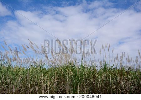 Sugarcane And The Sky In Countryside Of Thailand