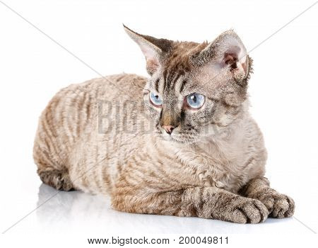 gray devon rex cat lying on white background background