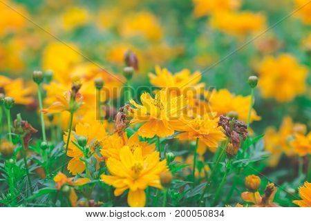 Yellow Cosmos Flowers In The Garden