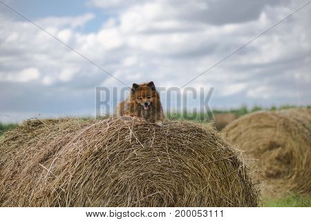 The Dog In The Hayloft