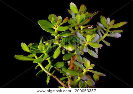 Crassula ovata or money tree succulent plant close up on black background, copy space
