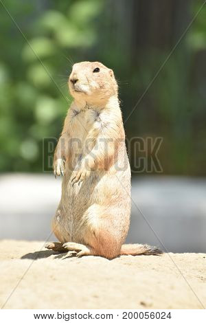 Amazing Prairie Dog with a Black Tail and Black Eyes