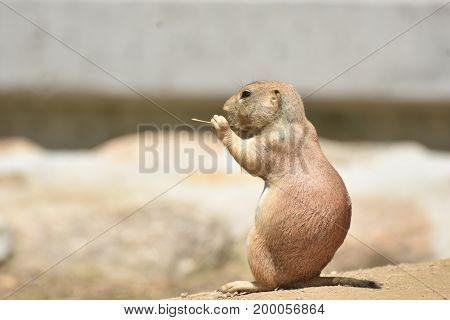 Precious Little Prairie Dog Eating Lunch on a Rock