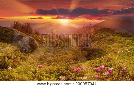Amazing colorful sunrise in mountains with colored clouds and pink rhododendron flowers on foreground. Dramatic colorful scene with flowers in mountains
