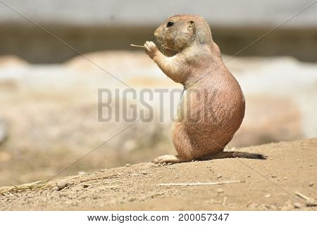 Captivating Up Close View of a Prairie Dog