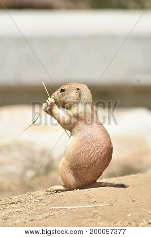 Scenic View of a Black Tailed Prairie Dog