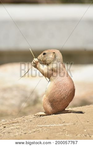 Adorable Prairie Dog Eating on a Rock