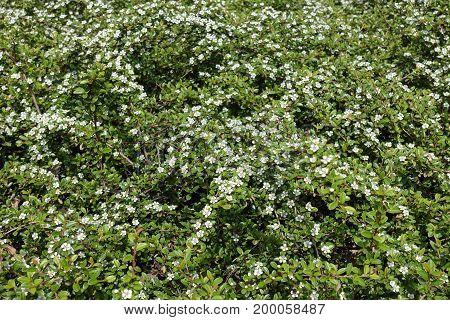 Branches Of Cotoneaster Horizontalis With Small White Flowers