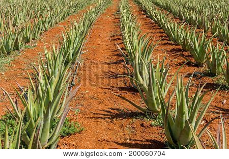 View on a Plantation with green Aloe Vera Plants on brown Soil. Close-up of a Aloe Vera Plantation in Sumner. Natural Bacground.