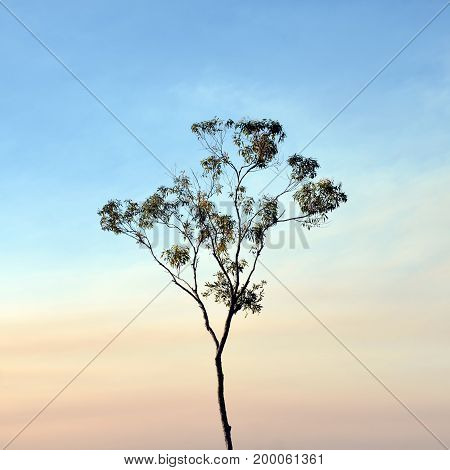 Tall slender Eucalyptus tree contrasted against a pink smoke haze blue sky, Royal National Park, Sydney, NSW, Australia. poster