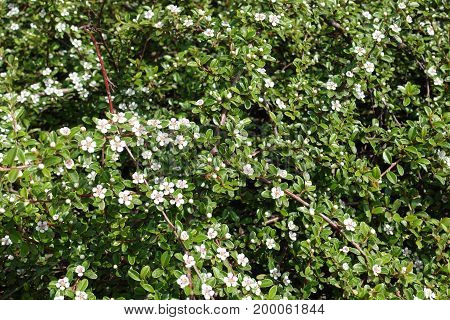 Small White Flowers On Branches Of Cotoneaster Horizontalis