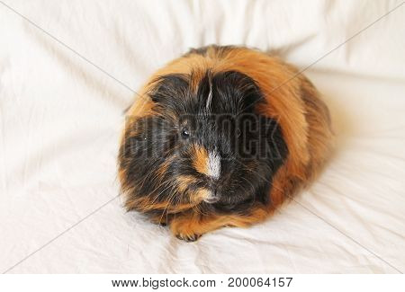 cute black and ginger guinea pig laying on the white blanket