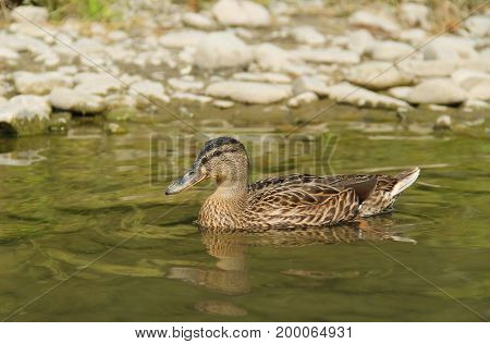 mallard duck (Anas platyrhynchos) swimming in the water near the bank with pebbles