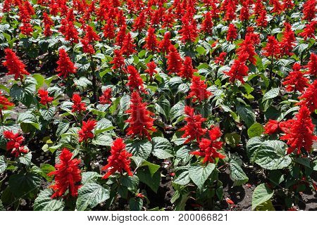 Flowerbed Covered With Salvia Splendens In Bloom