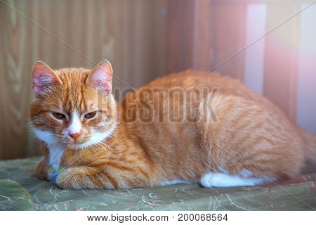 Red cat lies on a sofa. Beautiful cat
