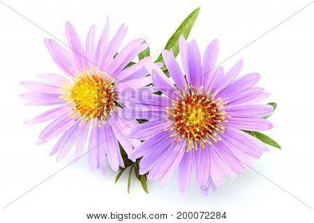 Purple asters close-up isolated on white background.Lady in Blue; Purple Dome.