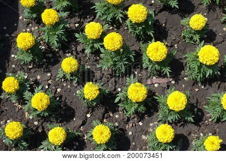 Tagetes Erecta Yellow Flowers Directly From Above