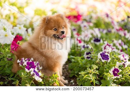 Beautiful puppy Spitz sitting happy among the flowers of Petunia.