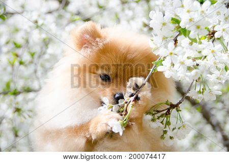 Home pet dog. Lovely Spitz gnaws cherry blossoms.