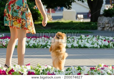 The puppy stands on his hind legs and begs for delicious food. Walking with a dog in the city.