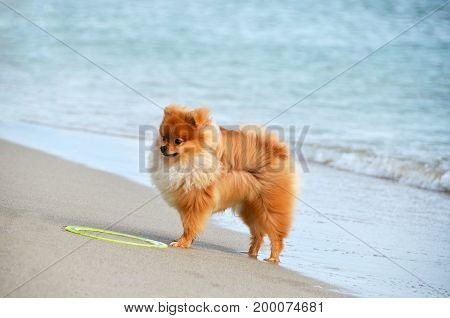 A dog stands on the beach. Puppy of the Pomeranian Spitz.