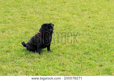 Dog breed Pug sitting on the green grass