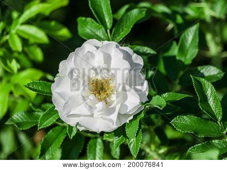 rose flower grade alise,  flowers are pure white, medium in size, one flower in bloom on a background of green bright foliage, sunny day, the flowers are lit by sunlight,
