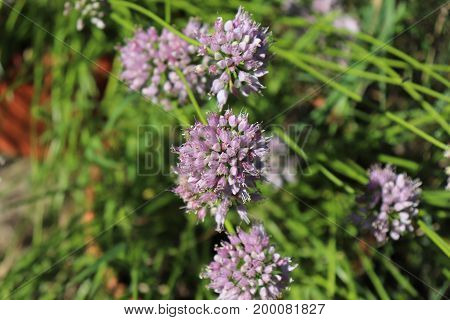 Close up macro of wild broadleaf chives, allium senescens, growing on a sunny day in organic garden. Blurred background.