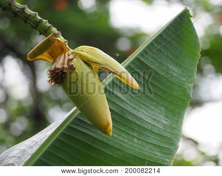 close up banana blossom on banana tree.