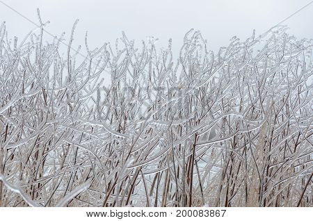 Winter background: Frozen trees in winter. Whitby Ontario Canada.