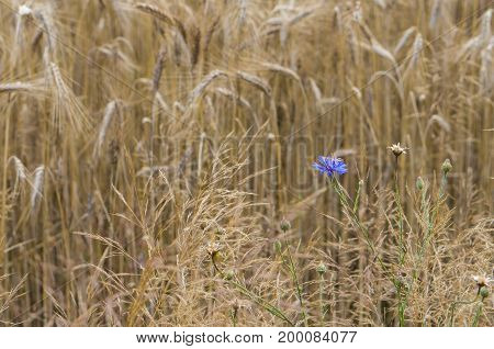 Flowers and buds of cornflowers in a field with wheat ears. Cornflower - wild flower in the summer.