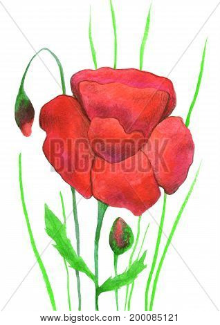 Poppies painted with a watercolor and colored pencils