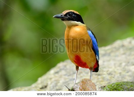beautiful alone Blue-winged Pitta(Pitta moluccensis) inThai forest