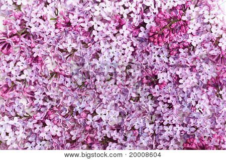 Lilac Petal On White Background