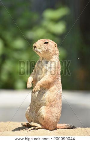 Cute Little Prairie Dog Living in Nature