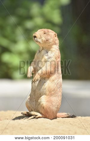 Adorable Little Prairie Dog with Squinting Eyes