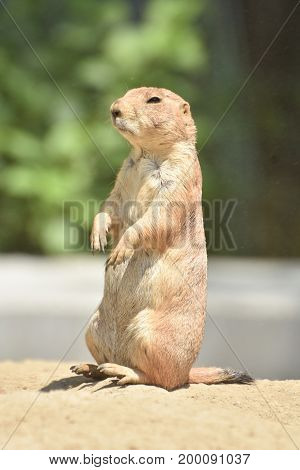 Amazing Close Up of an Adorable Prairie Dog