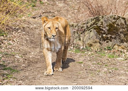 Lioness walking outdoor, front view. Wild animal