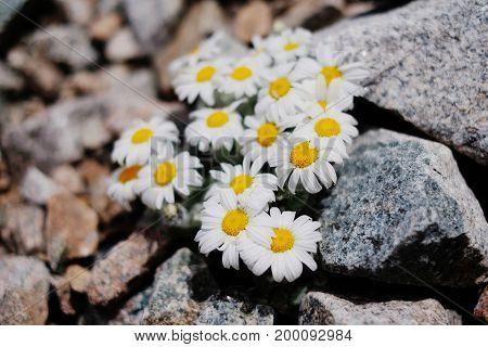 Alpine Camomiles, Flower