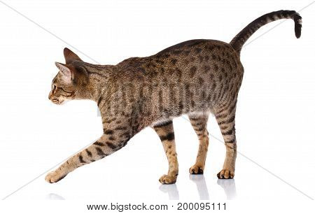 brown bicolor cat on a white background Ocicat cat, side view