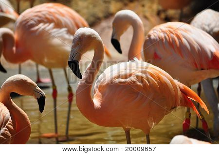 Colony of Flamingos