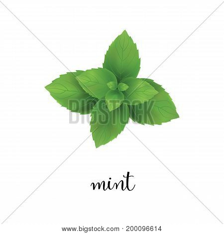 Mint vector illustration. Isolated mint on white background
