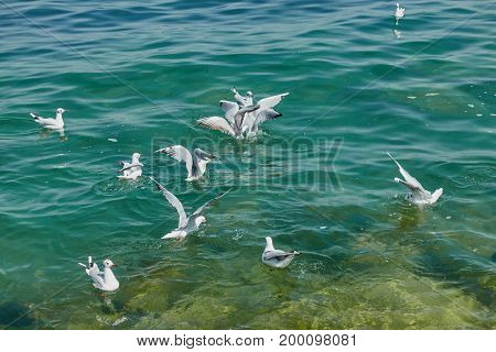 cute seagull flying on a blue  lake