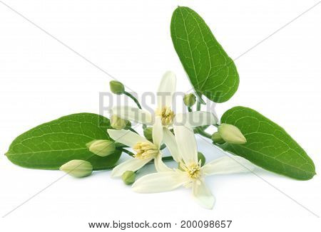 Clematis flammula or sweet-scented virgin's bower over white background