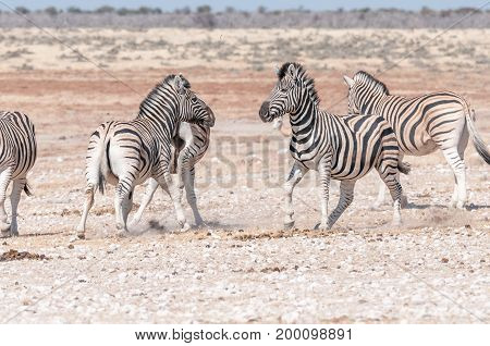 Two Burchells zebra stallions Equus quagga burchellii getting ready to attack each other in Northern Namibia