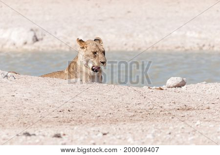 An African Lioness Panthera leo yawning at a waterhole in Northern Namibia