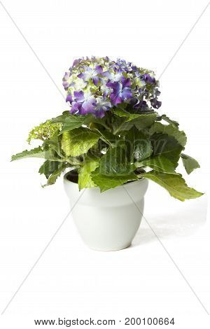 Purple Hydrangea in flower pot isolated on white background