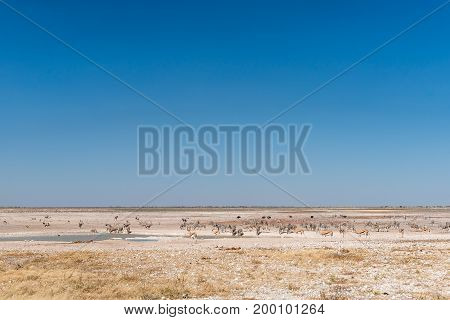 Oryx springbok ostrich and Burchells zebras at a waterhole in Northern Namibia